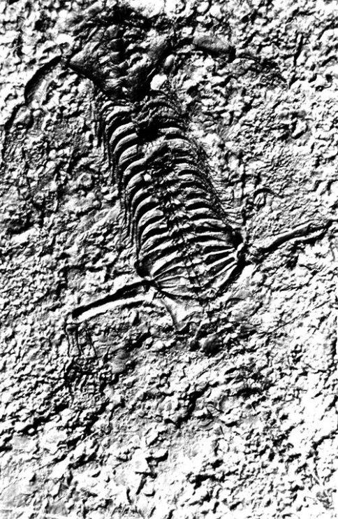 Lariosaurus Balsami Curioni - il fossile ritrovato a Lierna